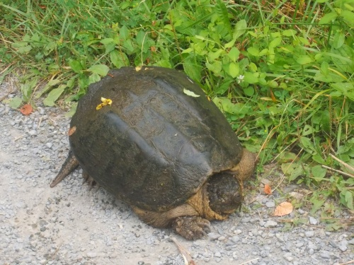 Tortoise on the trail!