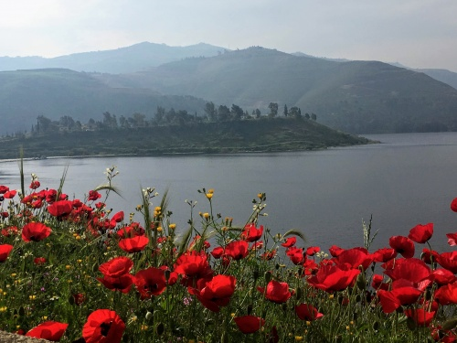 Poppies at the King Talal Reservoir