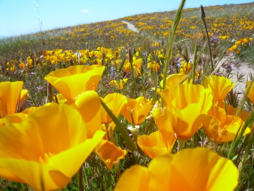 California Poppies near Eagle Rock