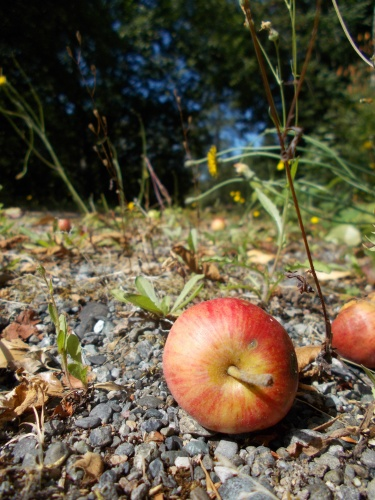 Apple on the trail