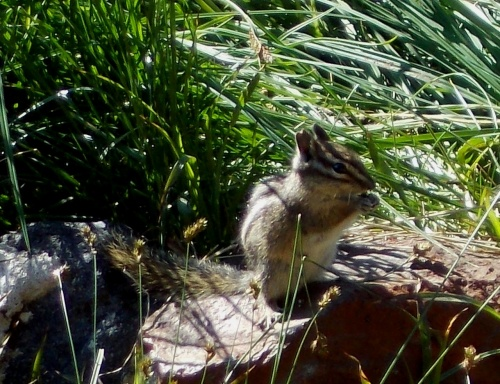 Chipmunk hiking the Wonderland Trail!